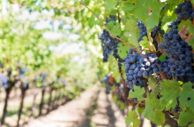 Pěstovat víno doma