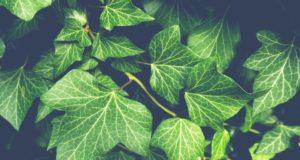 Pěstujeme břečťan na okenním parapetu