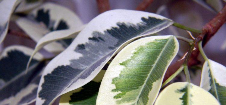 Na co si dát pozor při pěstování fíkusů?