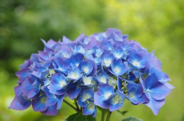 Jak pěstovat nevšední hortenzii?