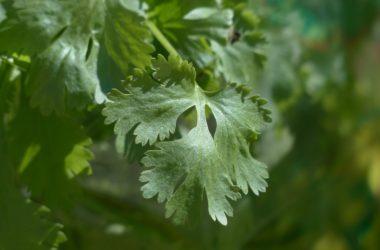 Pěstujeme koriandr, bylinku ulevující od křečí