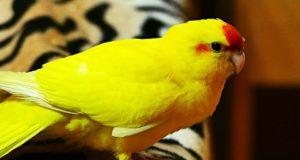 Důvody, proč si pořídit papouška kakariki